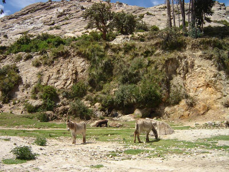 Bolivia, animali al pascolo