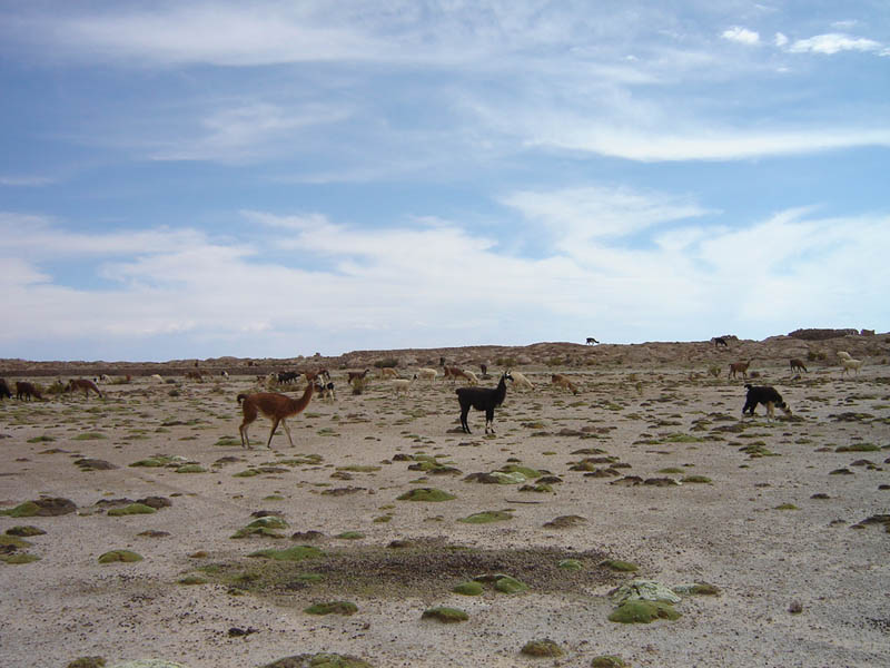 Bolivia, Alpaca al pascolo.