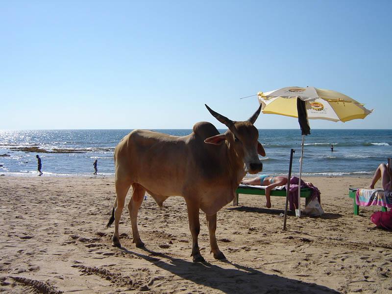 Goa, vitello...da spiaggia.