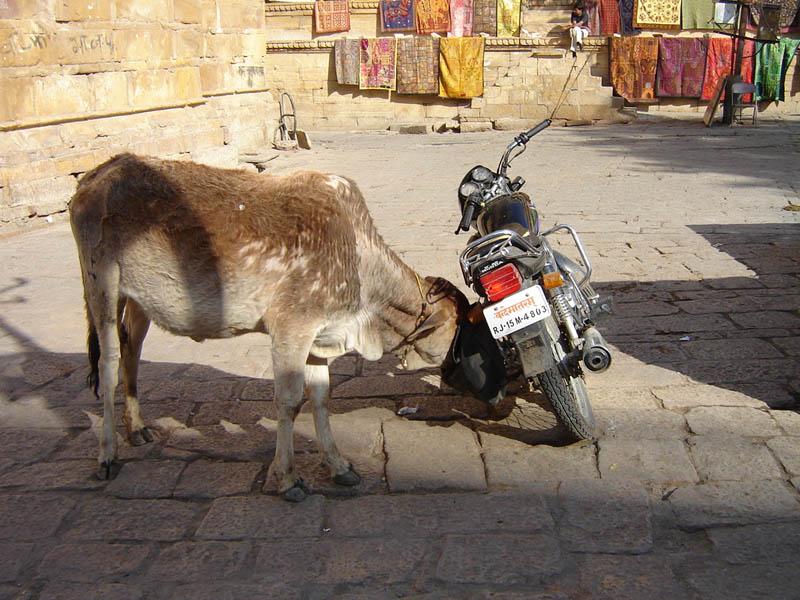 Jaisalmer, la mucca golosa.