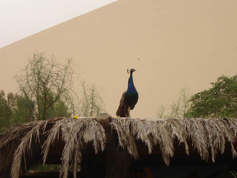 Oasi di Huacachina, il Pavone di casa