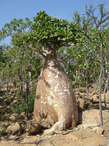 Socotra, l'albero bottiglia