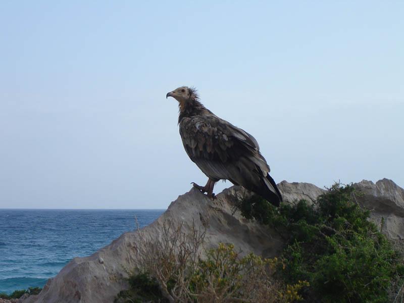 Socotra, l'avvoltoio egiziano