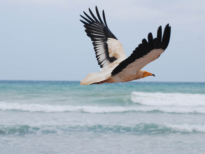 Avvoltoio egiziano in volo