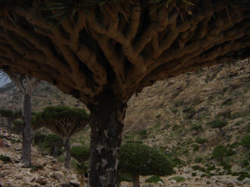 Socotra, l'albero Sangue di Drago
