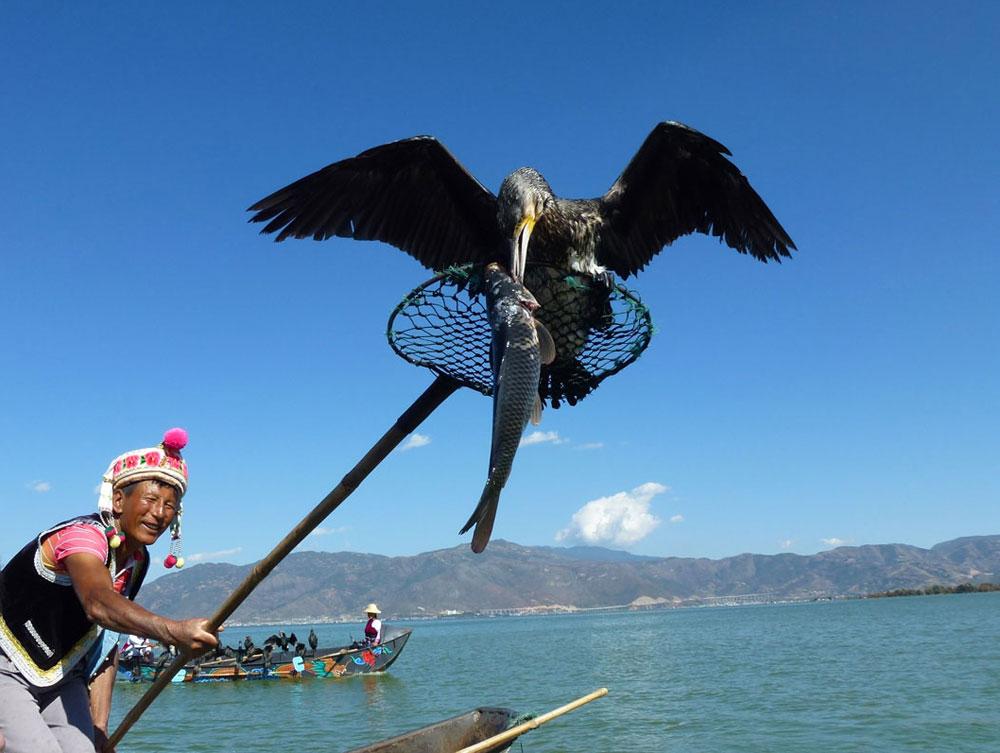 Yunnan, cormorani pescano sul lago Erhai