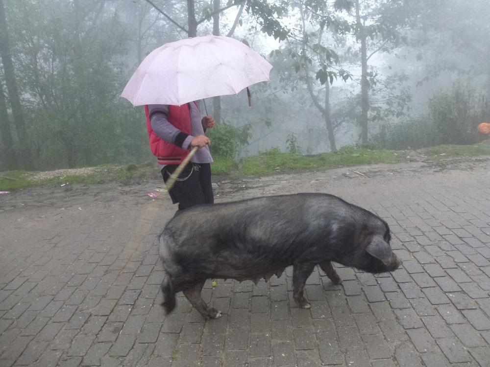 Yunnan, donna con maiale