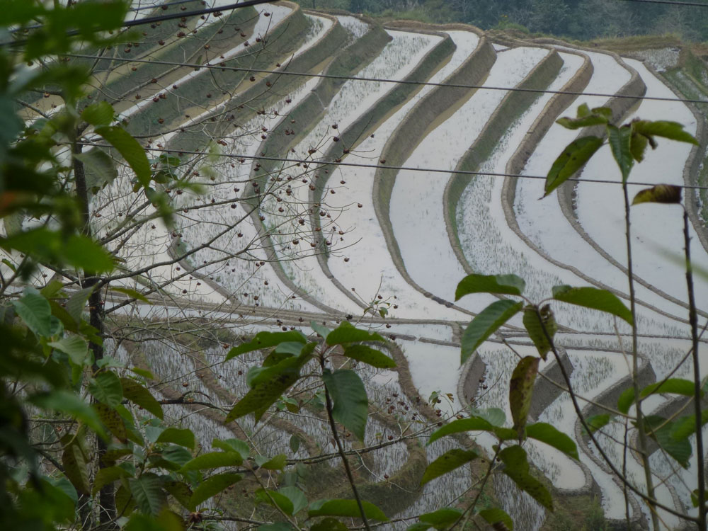 Yunnan, risaie
