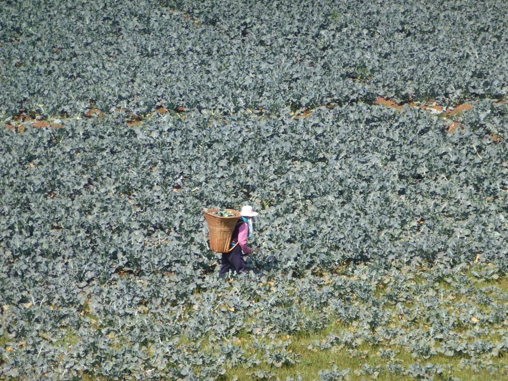 Yunnan, campi di broccoli